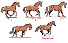 Horse gaits | This page uses frames, but your browser doesn't support them.