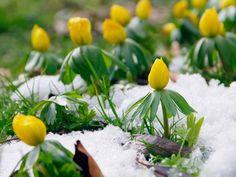 Winterlinge erfolgreich vermehren