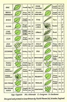 Tree identification chart