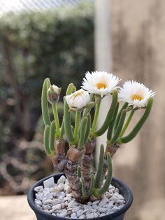 monilaria obconica plant - Pesquisa Google