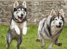 Irish dogs Odin and Thor who starred as direwolf cubs Summer and Grey Wind in Game of Thrones