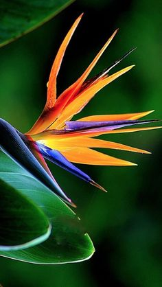 Strelitzia Reginae, also known as Crane Flower, or Bird of Paradise is native to South Africa and derives its name from the unusual flowers, which resemble brightly colored birds in flight. Unusual Flowers, Rare Flowers, Flowers Nature, Tropical Flowers, Tropical Plants, Amazing Flowers, Tropical Garden, Bird Of Paradise Yoga, Bird Of Paradise Tattoo