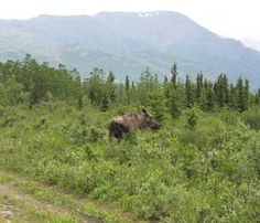 Fairbanks - Instead of seeing deer along the roads, you will see moose.