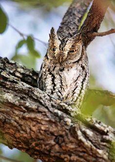 貓頭鷹 Owl