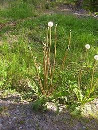 Image result for dandelion plant