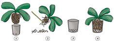 come rinvasare un'orchidea