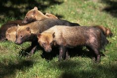 It looks almost more like the love child of a Tasmanian Devil and a foosa, but this unusual species is a rarely seen species of canid, Speothos venaticus — better known as the bush dog.