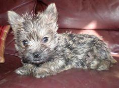 Cairn terrier pup