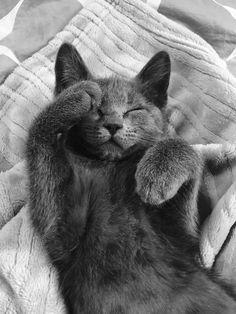 Russian Blue Kitten, Serious Cat, Grey Cats, Cute Cats And Kittens, Cool Pets, Beautiful Cats, Pet Birds, Fur Babies, Cat Lovers