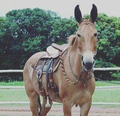 Horses And Dogs, Cute Horses, Horse Love, All The Pretty Horses, Beautiful Horses, Animals Beautiful, Draft Mule, Mules Animal, Cute Donkey