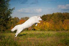 White Swiss Shepherd Dog | Flickr - Photo Sharing!
