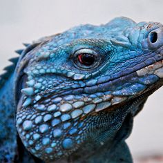 Grand Cayman Blue Iguana [ Cyclura lewisi ]