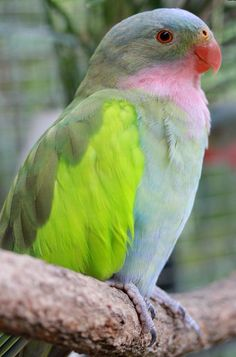 Princess Parrot - Named after it's beautiful 'princess' like colours, and in honour of Queen Alexandra.