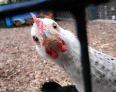 Chicken Humor: Get Out And Play