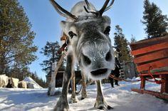 curious reindeer in Finnish Lapland
