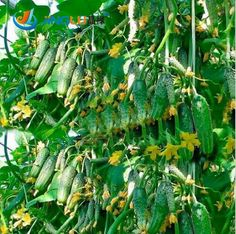Cheap plant pot holder, Buy Quality plant pot supplier directly from China pot for plants Suppliers:  [xlmodel]-[products]-[33729]     You Will Like ...            Vegetables Seeds Dutch Cucumber, color Packaging - 20 Pcs