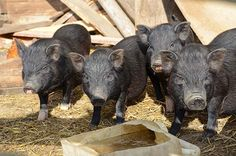9 Tips for Raising Healthy Pigs | Homesteading Tips and Preparedness Ideas for Preppers, check it out at http://survivallife.com/9-tips-for-raising-healthy-pigs/