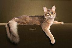 Somali cat. Love the tail!