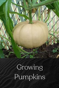 Growing large pumpkins And some of the issues you might face Planting Pumpkins, Gardening Tips, Gardens, Fruit, Vegetables, Face, Diy, Bricolage, Outdoor Gardens