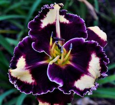 Daylily Black Hornet from CTDaylily.com. I have exquisite taste--this one is $95 for a single fan. What an unusual color for a daylily!