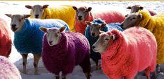 Bazaar Velvet - wonderful sheep - wonderful colours