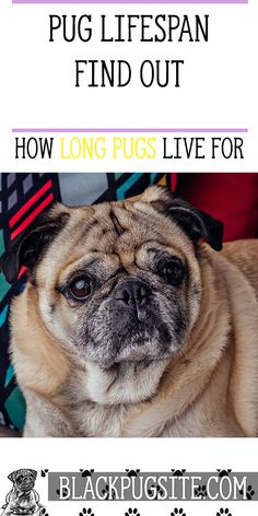 Pug lifespan: A look at how long you can expect your pet to live in human and dog years. Pug Life Expectancy, Pug Health Problems, Pug Facts, Adult Pug, Pug Quotes, Old Pug, Black Pug Puppies, Fawn Pug, Baby Pugs
