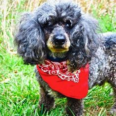 Senior Spotlight: Meet Tiger! This handsome boy is a 14-year old poodle whose owner passed away and left him homeless and alone. He is currently being fostered and looking for another chance at a forever home. For more information on Tiger and adoption procedures, visit us on Facebook or click the link in our bio #susiesseniordogs #seniordog #adoptasenior #poodle #adopt #rescue #hospicehearts