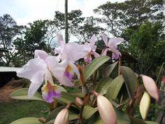 Orquideas de mi tierra