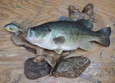Tim Overbaugh's Page - Bluegill - Big Bluegill