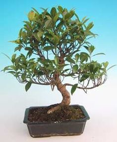 acheter en ligne ce superbe bonsai ficus retusa 50 cm sankaly bonsa votre sp cialiste de la. Black Bedroom Furniture Sets. Home Design Ideas