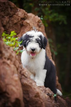"[Old English Sheepdog Puppy]--------  * * PUP: "" Me be not confused; me justs well-mixed!"""