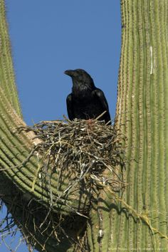 The Chihuahuan Raven in its nest atop a cactus. Formerly known as the American White-Necked Raven, the Chihuahuan Raven has the proportions ...