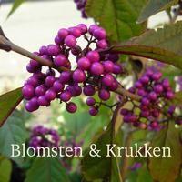 Callicarpa bodinieri 'Profusion' - Glasbær