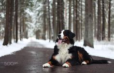 My love - null Bernese Mountain, Mountain Dogs, All Types Of Dogs, Dog Pictures, Love, Animals, Dogs, Bernese Mountain Dogs, Animales