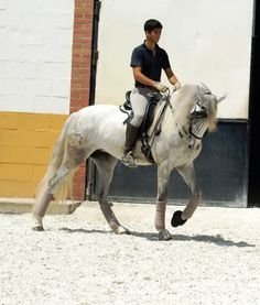 HABANA - The Best Spanish Horses - Horses for Sale Direct from Spain Majestic Horse, Beautiful Horses, Beautiful Things, Horses For Sale, White Horses, Dressage, Conquistador, Saddles, Equestrian