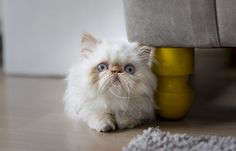 Ludovico, the Himalayan Cat #redpoint   <3 the love of my life