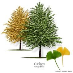Ginkgo biloba, when both sexes are grown, females will produce yellow fruits that look like plums. The seeds are gathered after they fall to the ground and are roasted to eat. They're a delicacy in China. Ginkgo is also very medicinal (well known). In China, Trees And Shrubs, Trees To Plant, Tree Planting, Garden Trees, Garden Plants, Ginko Tree, Maidenhair Tree, Ginkgo