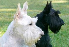 Aberdeen terrier | Perros de raza | Scottish terrier