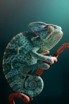 A mint and teal colored chameleon lizard. #teal #mint #reptiles