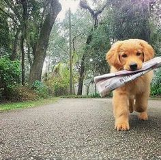 Golden Retriever puppy retrieving the newspaper😢 someone plzz get me 7 puppies😢😢😢 Animals And Pets, Baby Animals, Funny Animals, Cute Animals, Nature Animals, Wild Animals, I Love Dogs, Cute Dogs, Mans Best Friend