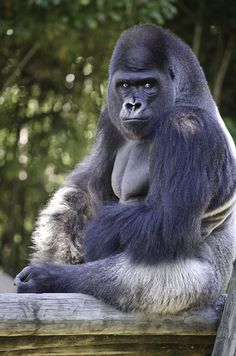 Silverback Gorilla by Cody Powers on 500px