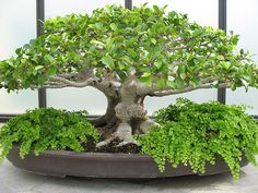 Ficus Microcarpa - bonsai <3