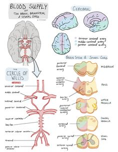 Nursing School Notes, Medical School, Nursing Schools, Ob Nursing, Funny Nursing, Medicine Notes, Human Anatomy And Physiology, Human Brain Anatomy, Biology Lessons