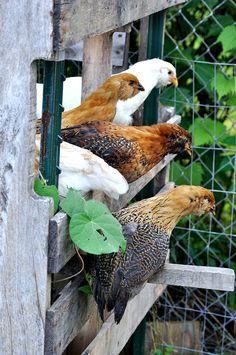 Roosting Hens by Will Merydith, via Flickr