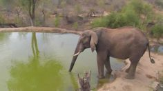 | Africam Elephant drinking at Naledi - Nov 17 2015 - 2:52pm