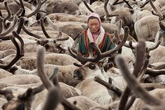 Bovanenkovo ,Yamal Peninsula, Russia, 09/07/2010. A Nenets girl helps round up 5,000 reindeer before the nomadic tribe leave on sledges heading north to near the northern Russian coast.