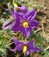 Kantakari - La kantakari est une plante médicinale de la médecine traditionnelle ayurvédique, elle fait partie des principes Âyurveda dans différents traitements de la santé, elle est importante dans les infections et les affections respiratoires, la toux et la bronchite, l'asthme et les maux de gorge... http://www.complements-alimentaires.co/wp-content/uploads/2015/09/Kantakari-_Solanum_xanthocarpum.jpg - Par Nathalie sur Compléments alimentaires  #Lesplantesdel