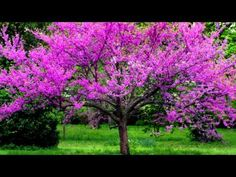 Redbud Tree  My favorite flowering tree.  Have many in the front yard and new red bud sprouts pop up within ten feet of mature trees.