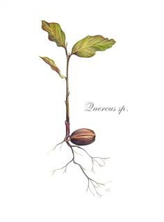 Oak seedling illustration digital by BotanicalAmy on Etsy