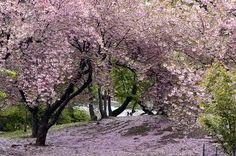cerisier japonais - parc de rentilly
